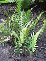 Polypodium vulgare2.jpg