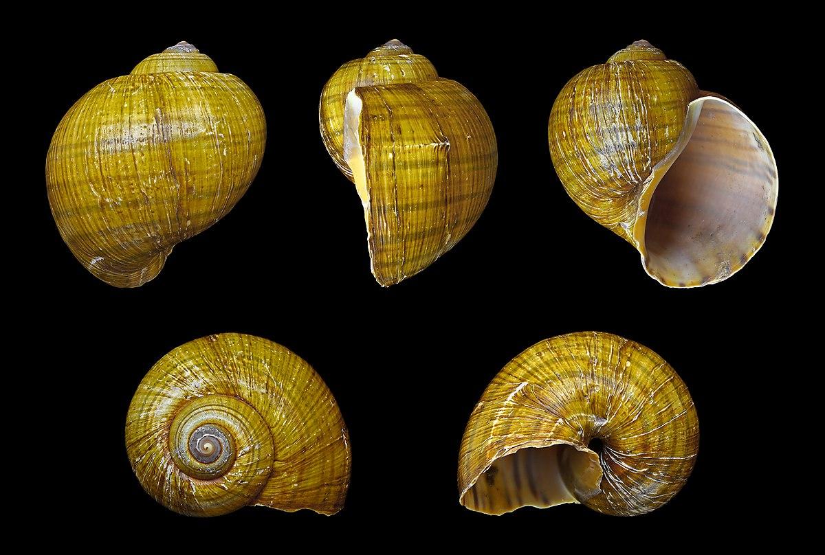 Pomacea canaliculata - Wikipedia