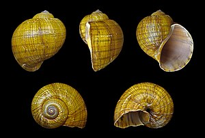 Pomacea canaliculata - Five views of a shell of Pomacea canaliculata, Shell diameter 8 cm