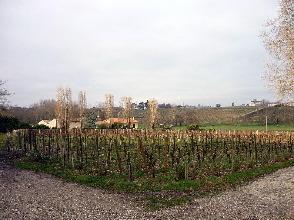 Pomerol vineyards of Chateau Gazin in January