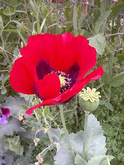 Poppy-1.jpg