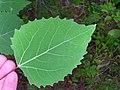 Populus grandidentata 2-jgreenlee (5097473737).jpg