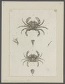 Portunus marmoreus - - Print - Iconographia Zoologica - Special Collections University of Amsterdam - UBAINV0274 094 19 0006.tif