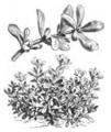 Pourpier vert Vilmorin-Andrieux 1883.png