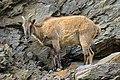 Prague 07-2016 Zoo img06 Hemitragus jemlahicus.jpg