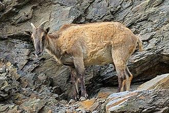 Himalayan tahr - A female tahr