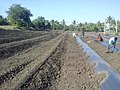 Prepared ridges for papaya planting 1.jpg