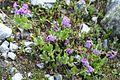 Primula latifolia subsp. latifolia SOPHY 2.JPG