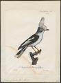 Prionops plumatus - 1825-1834 - Print - Iconographia Zoologica - Special Collections University of Amsterdam - UBA01 IZ16600451.tif