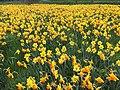 Proper spring (Den Haag, Netherlands 2017) (34194156135).jpg