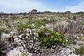 Protea cynaroides 50D 2523.jpg