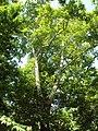 Protected plane-tree grove, Syunik, Armenia - panoramio (1).jpg