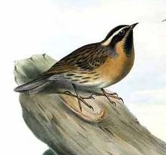 Prunella atrogularis by John Gould 1.jpg