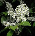 Prunus padus0.jpg