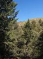Pseudotsuga macrocarpa Mount Santiago CA.jpg
