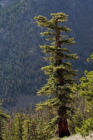 Douglas fir - Mature individual in the Wenatchee Mountains