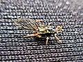 Pterocomma salicis (Aphididae) - (male imago), Arnhem, the Netherlands.jpg