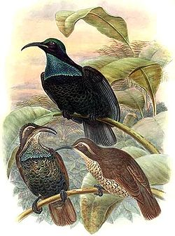 Illustration by Richard Bowdler Sharpe of a group of three paradise riflebirds perched on branches