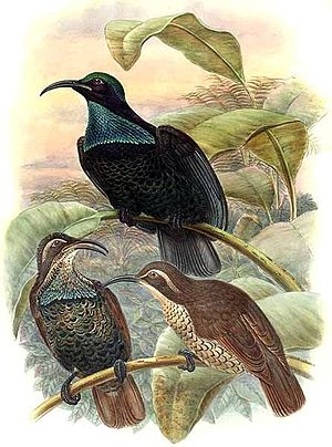 Ptiloris - Figure 2a. Paradise riflebird male and female