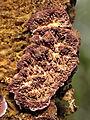 Purple Polypore (14040308198).jpg