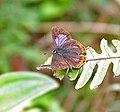 Purple Sapphire (Heliophorus epicles) in Samsing, Duars, West Bengal W IMG 6199.jpg