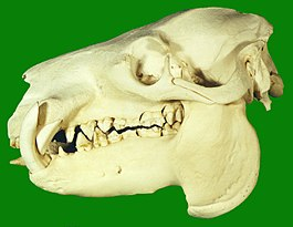Pygmy hippopotamus habitat