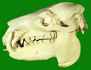 Pygmy hippopotamus - The skull of a pygmy hippopotamus