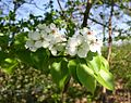 Pyrus-communis-flower.JPG