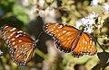 Queen Butterflies (Danaus gilippus) (28525527875).jpg