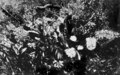 Queensland State Archives 1191 King Orchid Dendrobium speciosum National Park c 1930.png