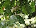 Quercus cerris 4.jpg