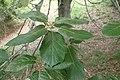 Quercus crassifolia kz02.jpg