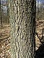 Quercus petraea (s. lat.) sl17.jpg