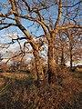 Quercus pyrenaica 20131228 b.jpg