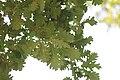 Quercus robur - Hrast lužnjak (1).jpg