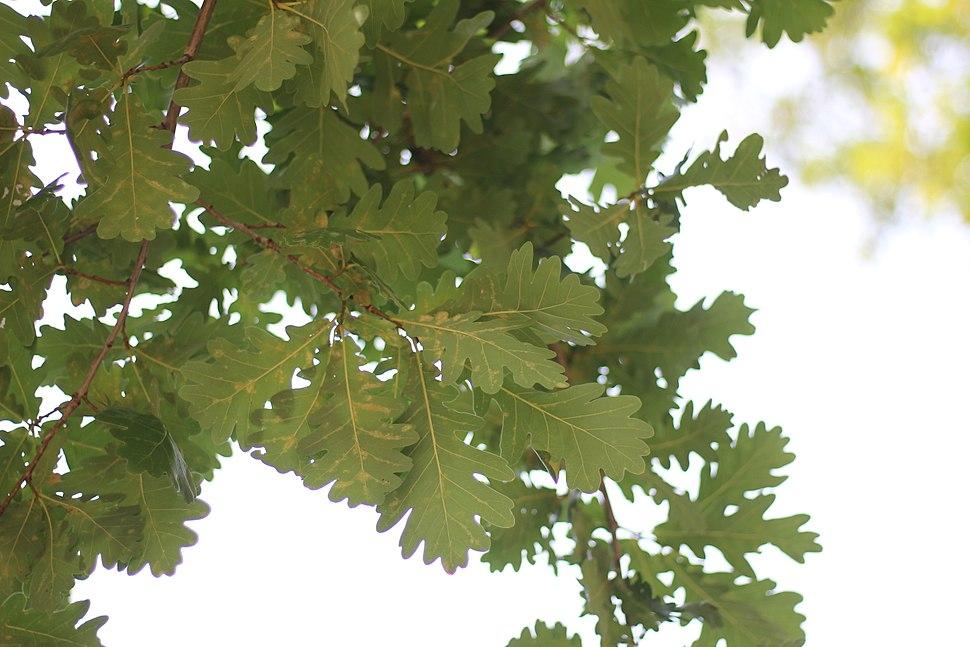 Quercus robur - Hrast lužnjak (1)