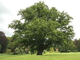Quercus robur JPG (d1).jpg