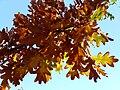 Quercus xcoutinhoi 2009November22 DehesaBoyaldePuertollano.jpg
