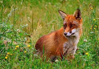Klamath Mountains - Red fox (Vulpes vulpes)
