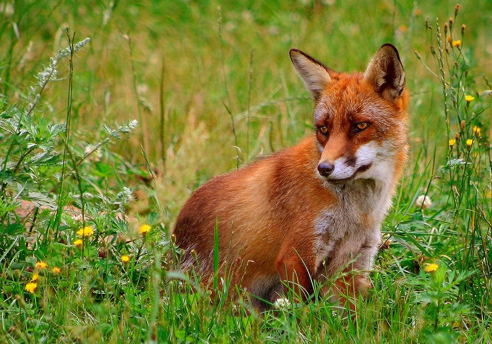 Rød ræv (Vulpes vulpes)