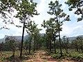 RED SANDERS ^TIRUMALA^AP - panoramio.jpg