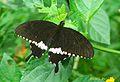 RN003 Papilio polytes male.jpg