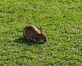 Rabbit beside the cyclepath - geograph.org.uk - 396999.jpg