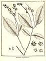 Racoubea guianensis Aublet 1775 pl 236.jpg