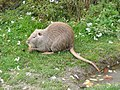 Ragondin (Myocastor coypus) (09).jpg