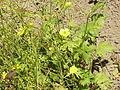 Ranunculus acris3.jpg