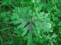 Ranunculus acris - Blatt mit schwarzer Mitte.jpg