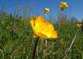 Ranunculus bulbosus flower2.JPG