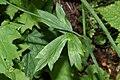 Ranunculus uncinatus 6669.JPG