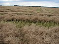 Rape Seed crop off Cuckoo Lane - geograph.org.uk - 490089.jpg